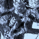 Leopard resting in the tree