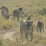 marsh lions in Masai Mara