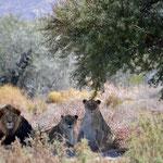 Cape-Lion family at nverdoorn