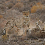 cheetah fight