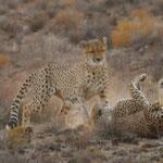cheetah fight