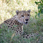 hidden cheetah on the hills of Mara