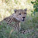 hidden cheetah on the hills of Mara