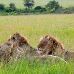 marsh lions in Masai Mara