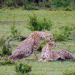 Cheetahs after the hunt cleaning up