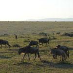 Gnus in the morning light @ Masai Mara