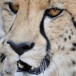 cheetah portrait at Inverdoorn