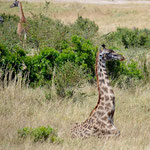 rare pic of a lying giraffe baby