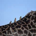 Peckers on a Giraffe