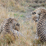 Cheetahs cleaning up