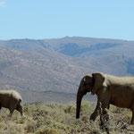 Elephants walk