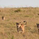 lion pride on the run