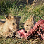 breakfast at Masai Mara lion pride