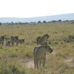themarsh lions
