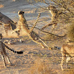 cheetahs try to catch a bird