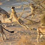 cheetahs try to catch a bird