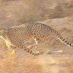 cheetah on speed