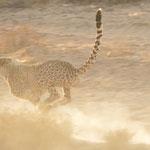cheetah slows down