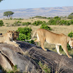 lions on a hill watching the game