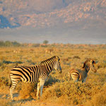 Zebras in the morning light