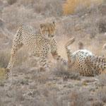 morning arguement cheetahs