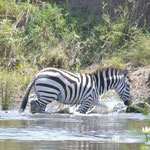 Zebra crossing a river