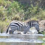Zebra crossing a river