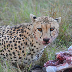 cheetah after hunt in Masai MAra