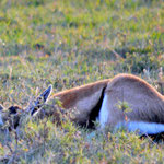 Thomson gazelle hiding in the gras