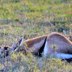 Thomson gazelle hiding in the gras