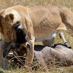 lioness kills at Mara River