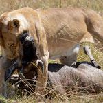 lioness kills at Mara River