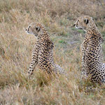 Cheetah mother and son