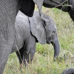 Elephants snack