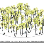 Pour Nicolas Luigi,  taillis de chêne pubescent