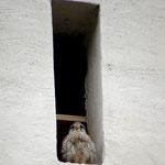 Turmfalken-Männchen im Pollinger Kirchturm © Leah Reiter