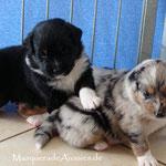 black tri Rüde mit seiner bm Schwester