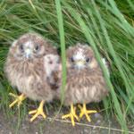 Junge Turmfalken - aus dem Nest gefallen und zur Aufzuchtstation gebracht. Foto: Friedrich-Karl Menz