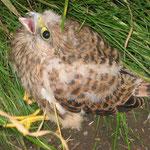 Junger Turmfalke - aus dem Nest gefallen und zur Aufzuchtstation gebracht. Foto: Friedrich-Karl Menz