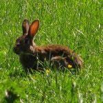 Kaninchen. Foto: Daniela Schwarzer