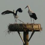 05.08.13: Die beiden Jungstörche bei Flugübungen im Nest - Foto: Sarah Gerhardt