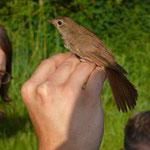 Vogelberingung in Niederweimar: Nachtigall