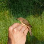 Vogelberingung in Niederweimar: Teichrohrsänger