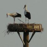 05.08.13: Die beiden Jungstörche im Nest - Foto: Sarah Gerhardt