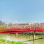 桜。yoshino cherry