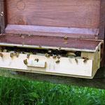Pollenfalle vor dem Flugloch