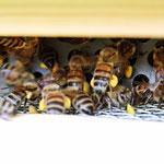 Bienen schlüpfen durch ein Gitter
