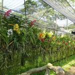 Fermes aux orchidées Chiang Mai
