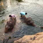 Baignade des éléphants malheureusement pas si agréable que ca ...