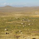 Les lamas de l'altiplano